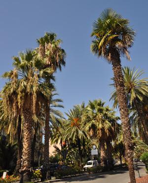 Italie chroniques palmiers d 39 italie - Racine d un palmier ...